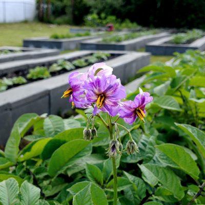 Flowers of the Cultivariable original potato (Solanum tuberosum) variety 'Gunter Blue'