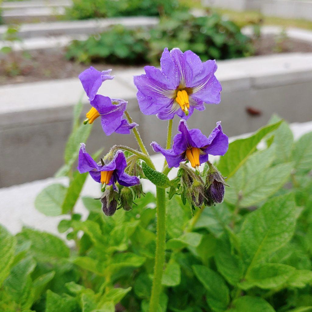 Flower of the potato (Solanum ajanhuiri) variety 'Jancko Ajawiri'