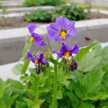 Flower of the potato (Solanum ajanhuiri) variety'Jancko Ajawiri'