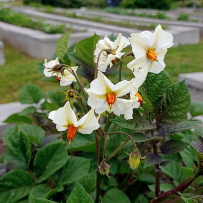 Flowers of the Cultivariable original potato variety 'Loowit'