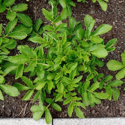 Aerial plant of the potato (Solanum tuberosum) variety 'Qoyllu'