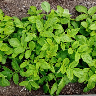 Aerial plant of the potato (Solanum tuberosum) variety 'Skagit Valley Gold'