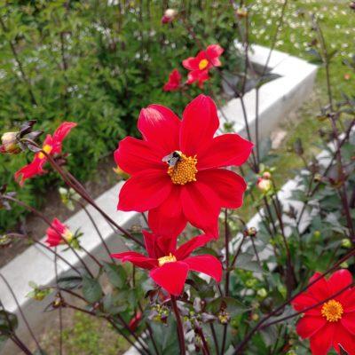 Dahlia coccinea flower