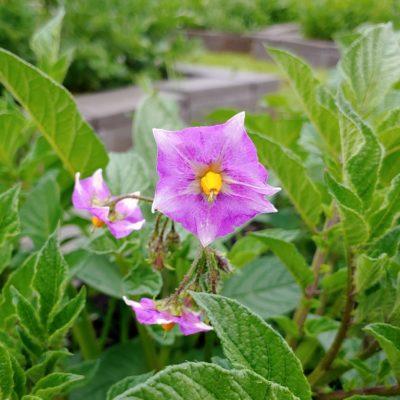 Flower of the potato (Solanum tuberosum) variety 'Kinigi'