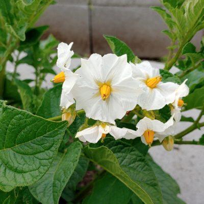 Flowers of the potato (Solanum tuberosum) variety 'Lumper'