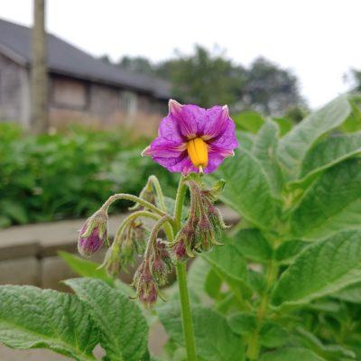 Flower of the potato (Solanum tuberosum) variety 'Yungay'