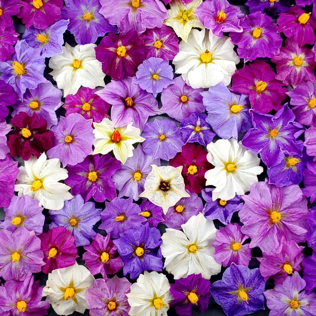 Flowers of the domesticated potato (Solanum tuberosum)