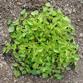 Aerial plant of the wild potato species Solanum neocardenasii