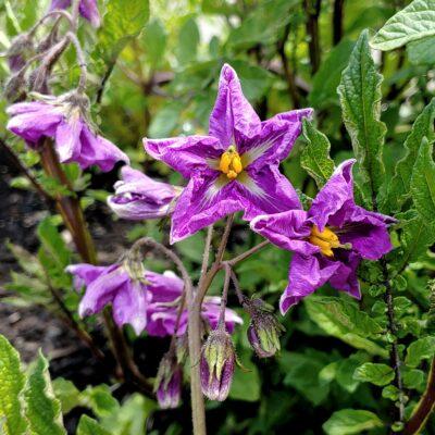 Flower of the potato (Solanum tuberosum) variety 'Cuchipa Ismaynin'
