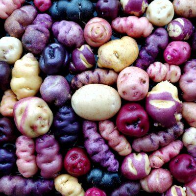 Seedlings of the potato (Solanum tuberosum) variety 'Cuchipa Ismaynin'