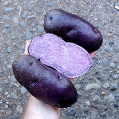 Tubers of the Cultivariable original potato variety 'Gunter Blue'
