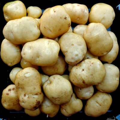 Tubers of the potato (Solanum tuberosum) variety 'Lumper'