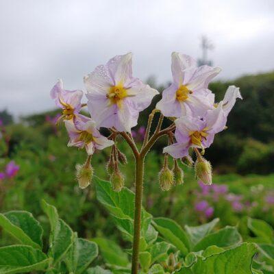Flowers of the potato (Solanum tuberosum) variety 'Ozette'