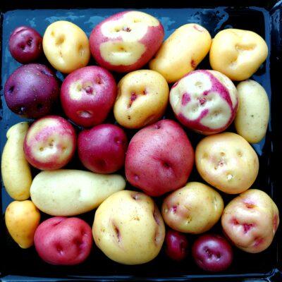 Seedlings of the Tom Wagner potato variety 'Skagit Valley Gold'