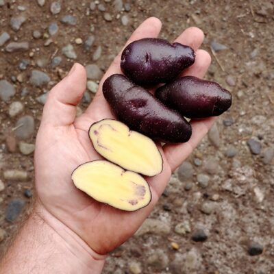 Tubers of a Solanum maglia x domesticated diploid hybrid