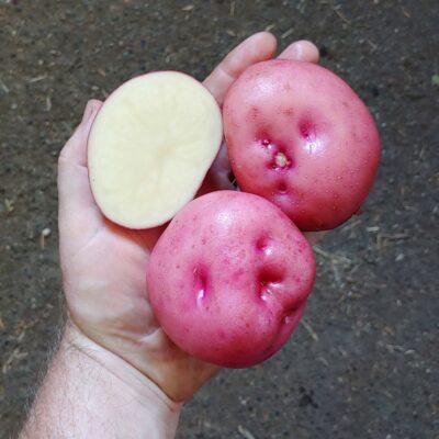 Tubers of the potato (Solanum tuberosum) variety 'Kinigi'