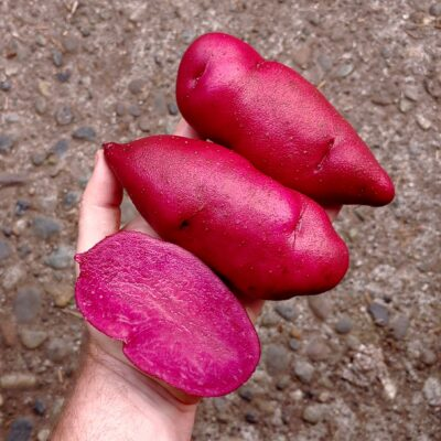 Tubers of the Cultivariable original potato variety 'Loowit'