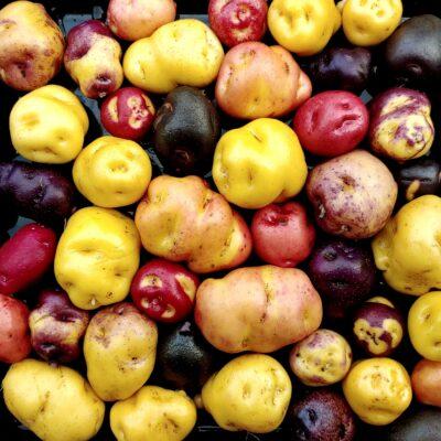 Seedlings of the Cultivariable original potato variety 'Nemah'