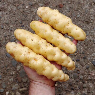 Tubers of the potato (Solanum tuberosum) variety 'Ozette'