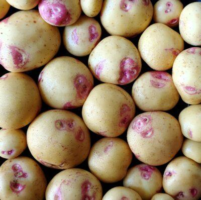 Tubers of the potato (Solanum tuberosum) variety 'Yungay'