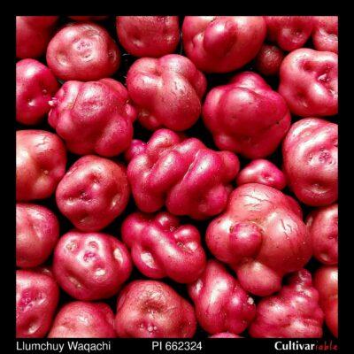Tubers of the USDA potato accession PI 662324