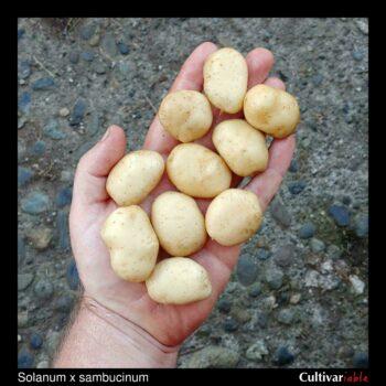 Tubers of the wild potato species Solanum x sambucinum