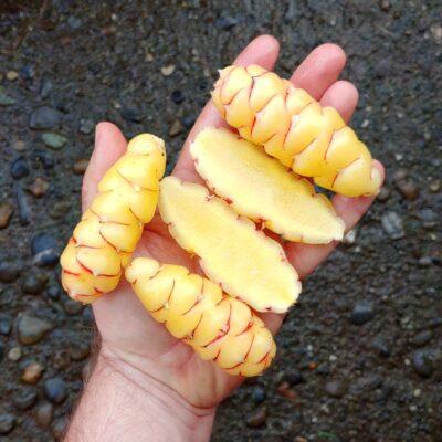 Tubers of the Cultivariable original oca (Oxalis tuberosa) variety 'Sawamish'