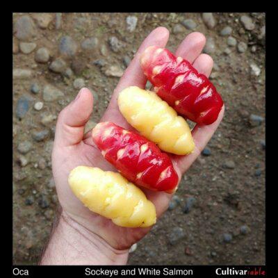 Tubers of the Cultivariable original oca varieties 'Sockeye' and 'White Salmon'
