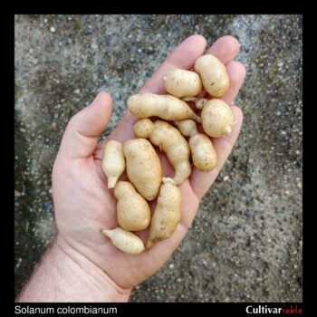 Tubers of the wild potato species Solanum colombianum